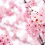 仙台も桜の季節到来です!が、季節外れの(^^;